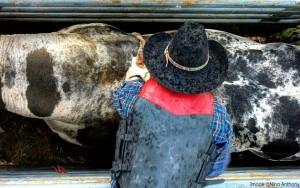 Bullrider at the Taos Rodeo, Taos, New Mexico. Copyright NIna Anthony 2014